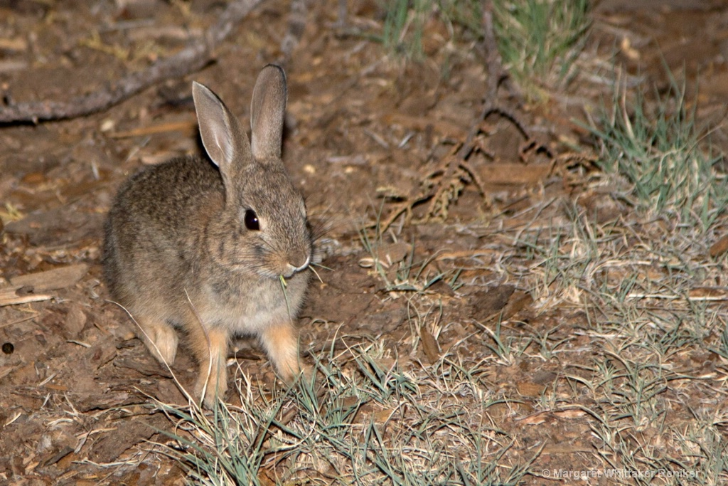 Cottontail Bunny Eating WU1A1534 - 1