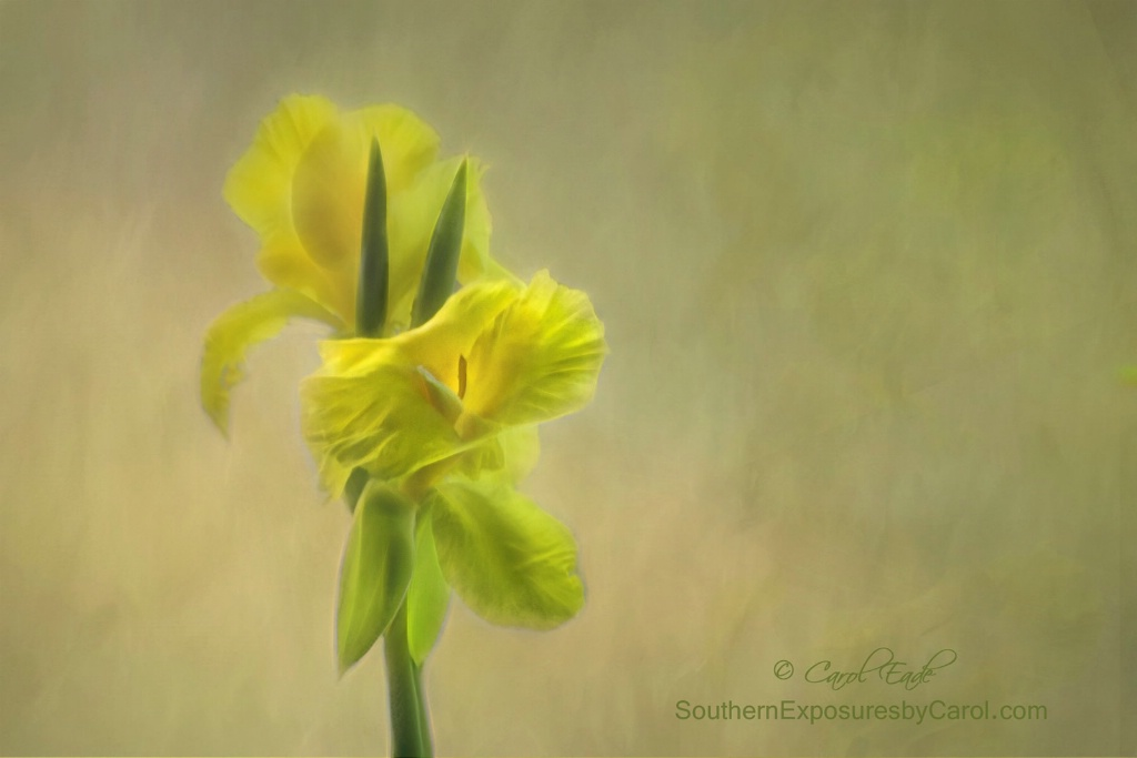 Painted Canna