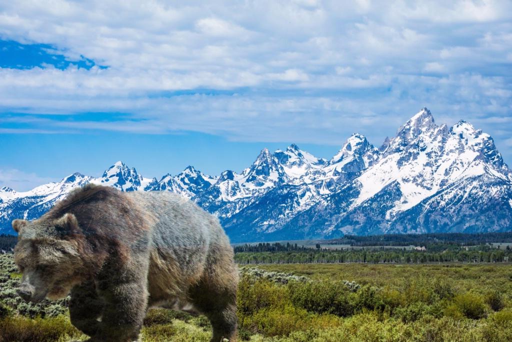 Teton Bear