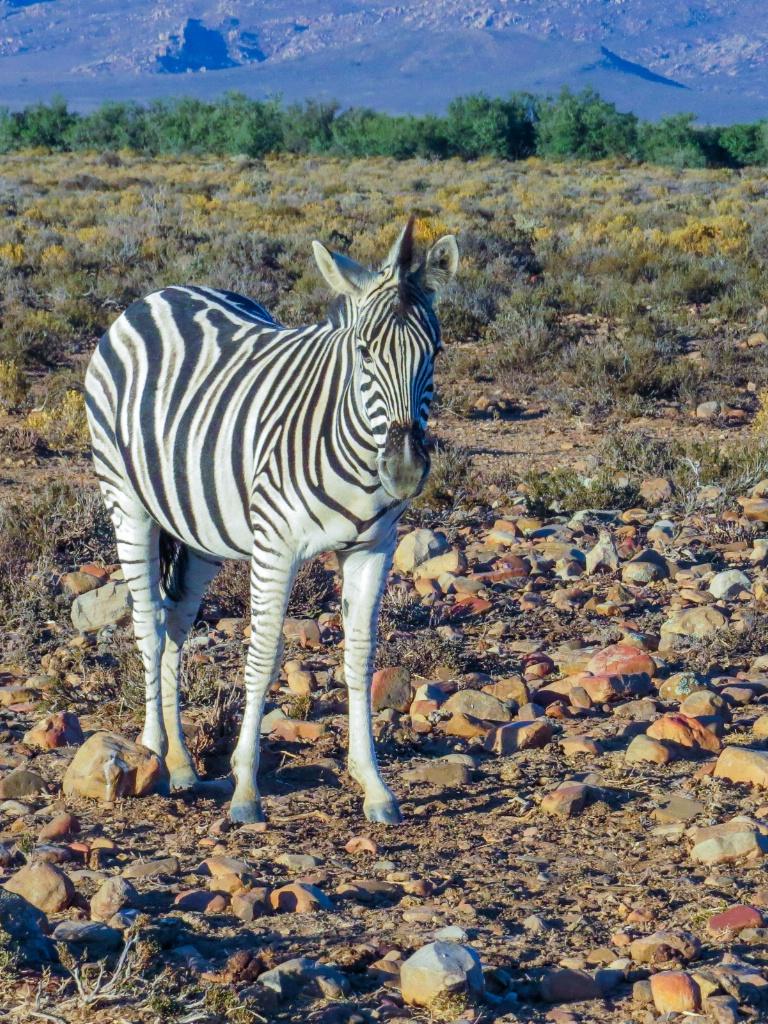 A Zebra hello
