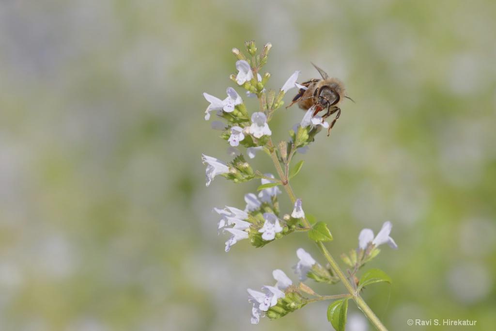 Honeybee on Catnip Flowers