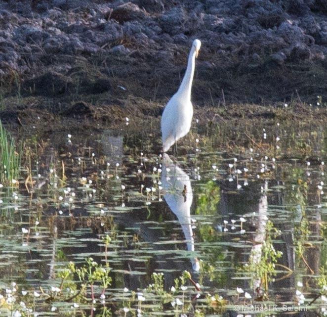 Lotus Bird Reflection