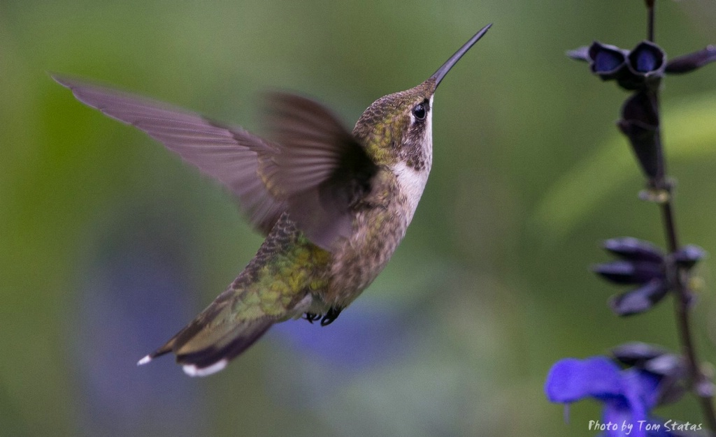 Hummingbirds 2017-08-13  5 of 7