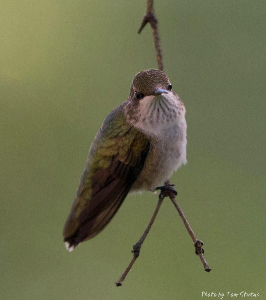 Hummingbirds 2017-08-13  7 of 7