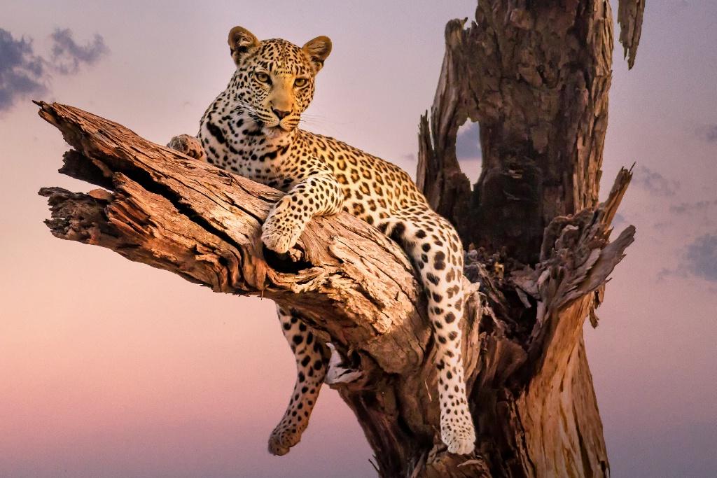 Leopard of Botswana  6284