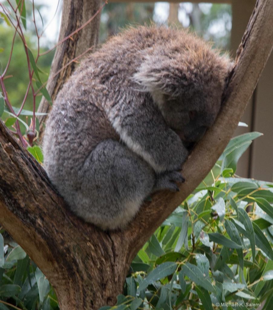 Cleland Koala