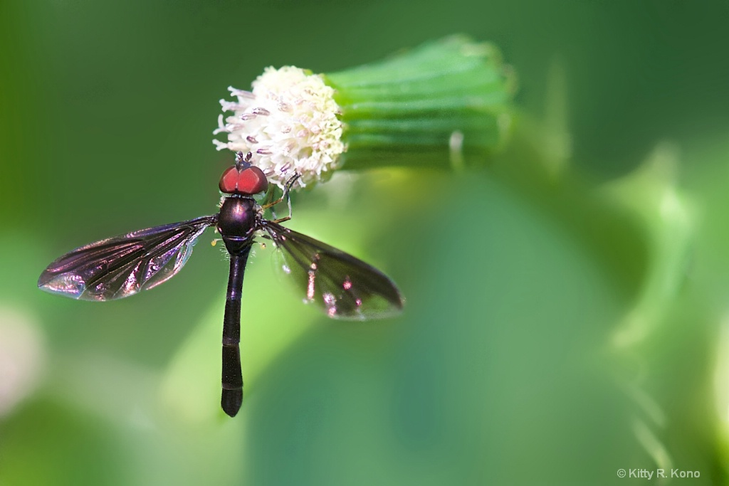Little Red Eyed Fly