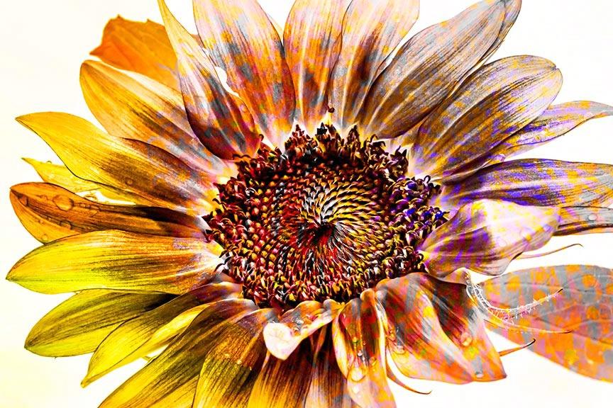 sunflower-53-i