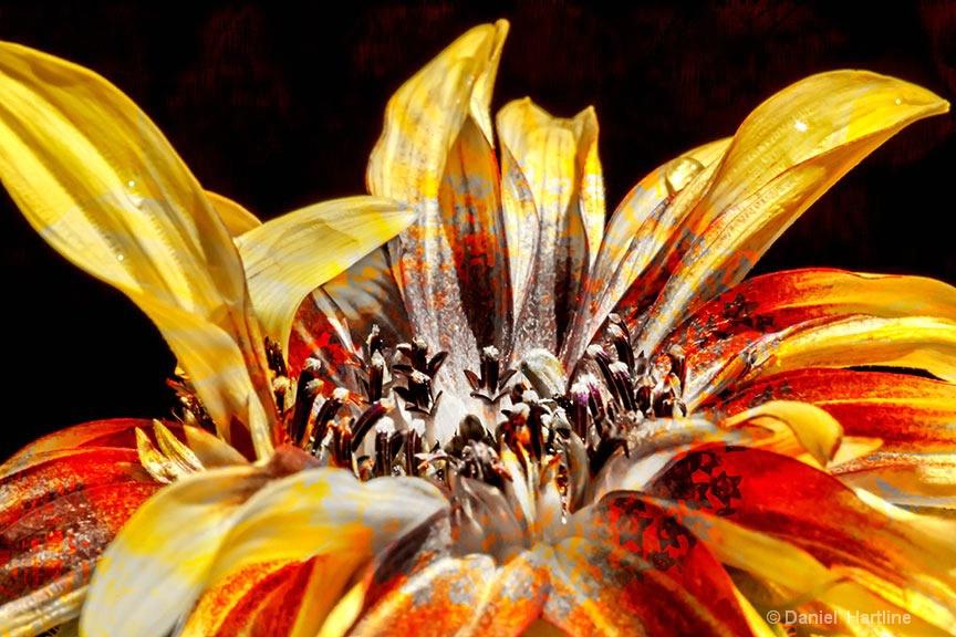 sunflower-115-i