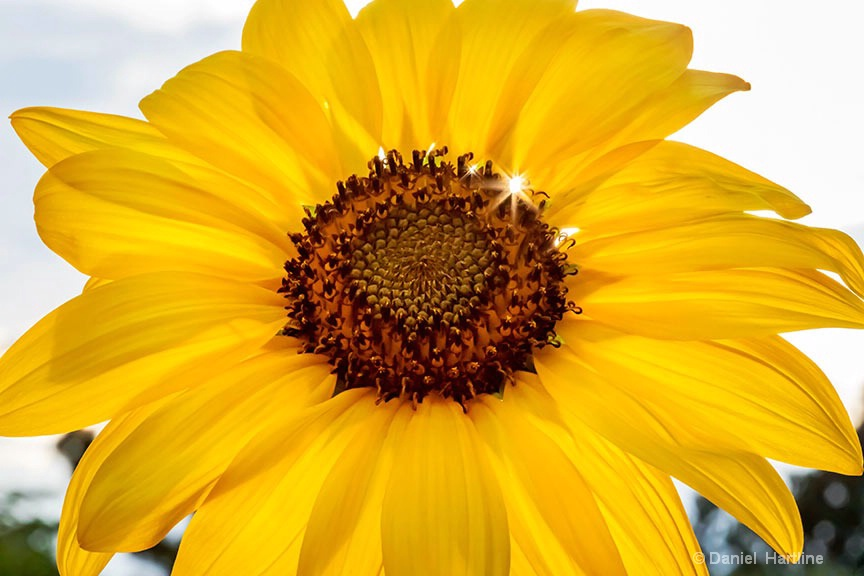 sunflower-139-i