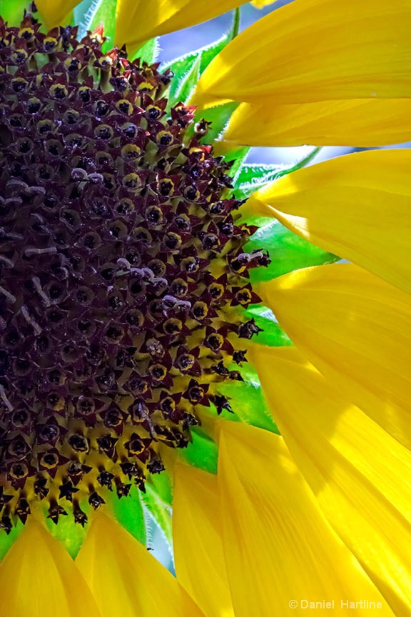 sunflower-153-i