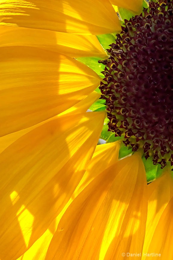 sunflower-156-i