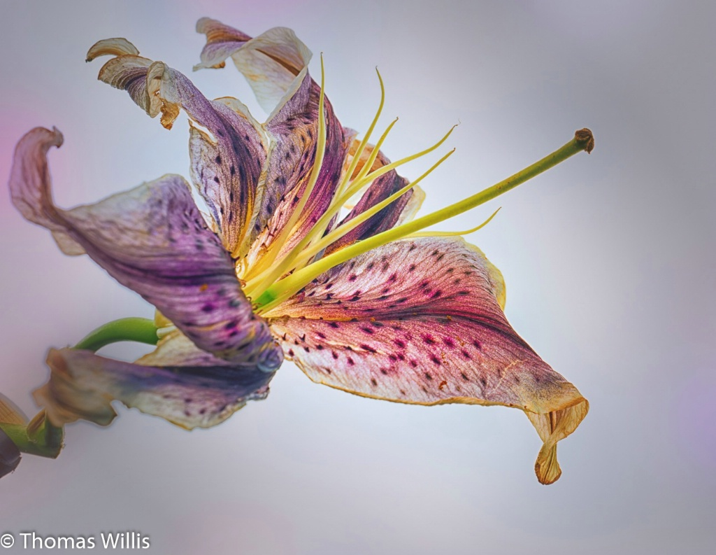 Fading Lily