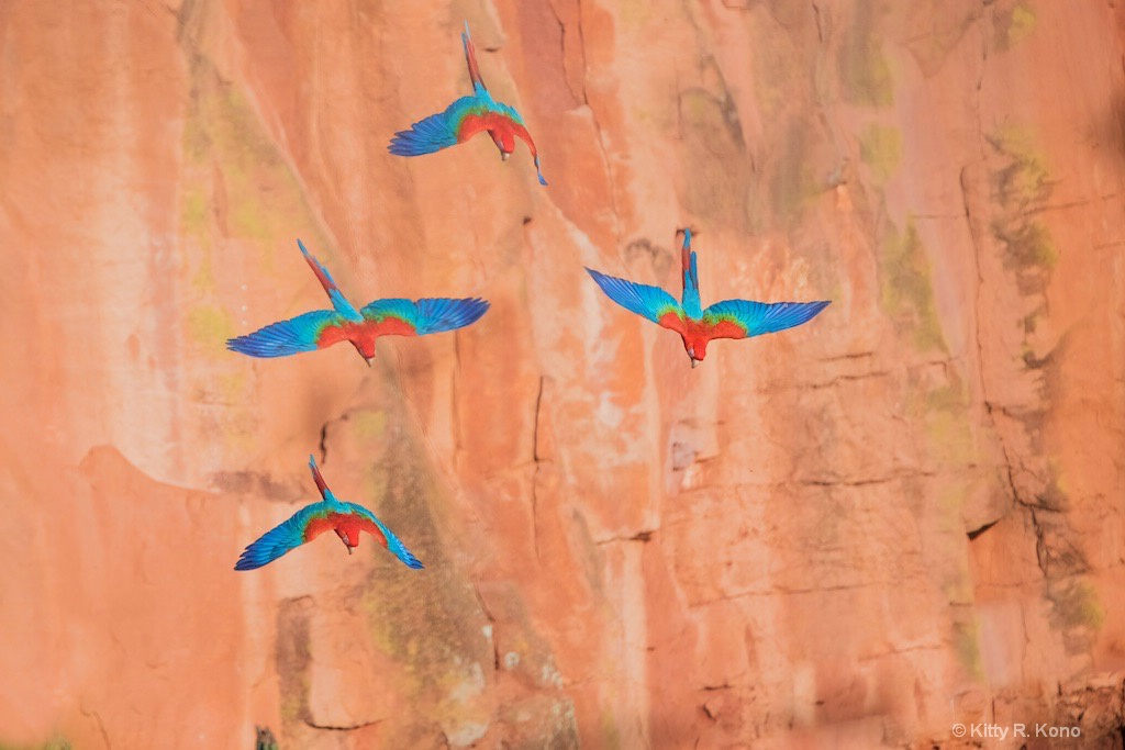 Four Blue and Red Macaws