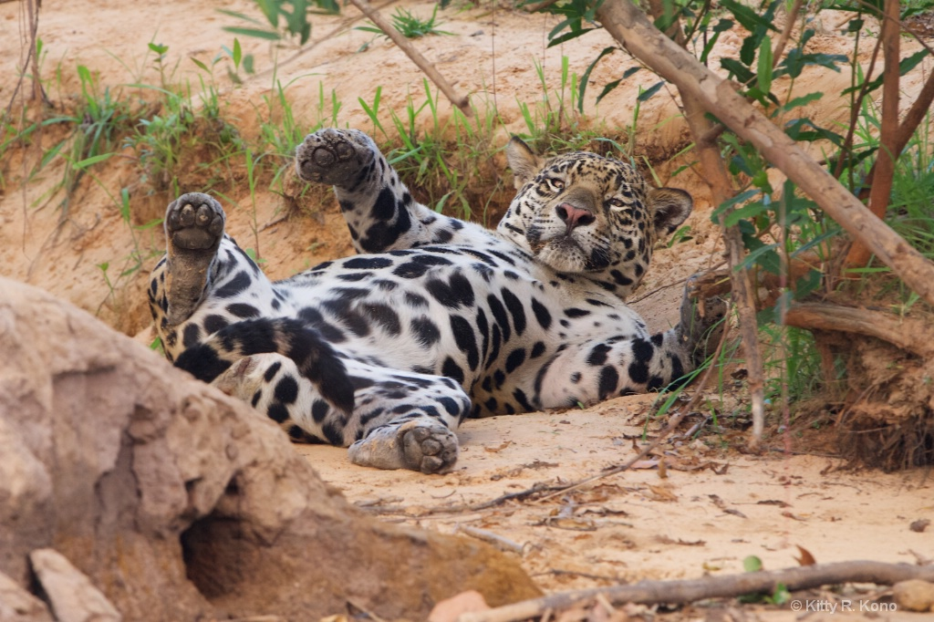 Jaguar with Spots on her Stomach