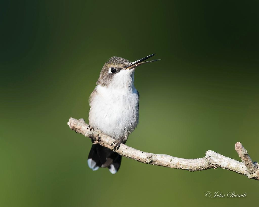 Ruby-throated Hummingbird - female juvenile