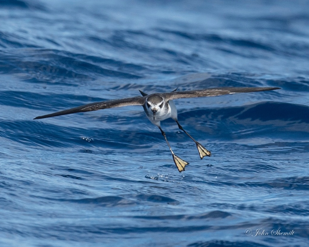 White-faced Storm-petrel - May 25th, 2017