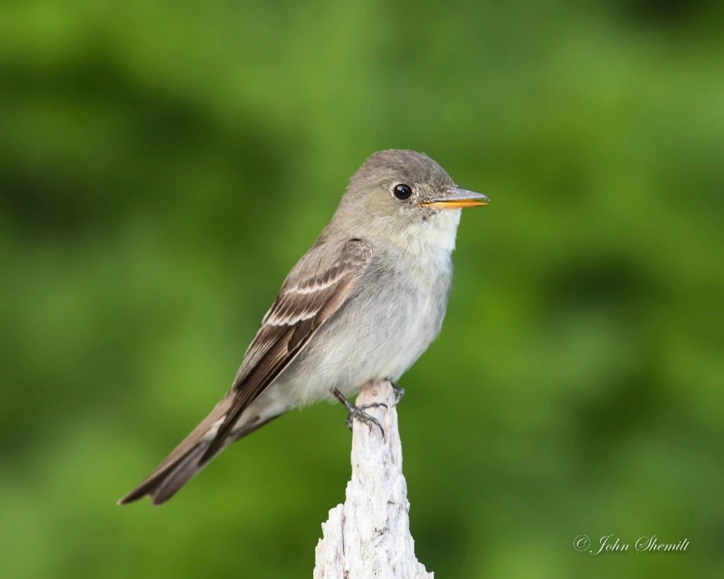 Eastern Wood-Pewee - August 26th, 2017