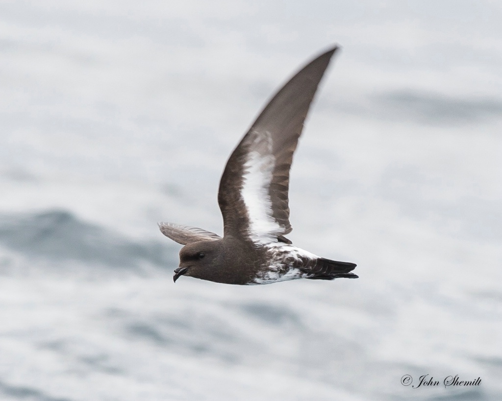 New Zealand Storm-petrel - Jan 7th, 2016