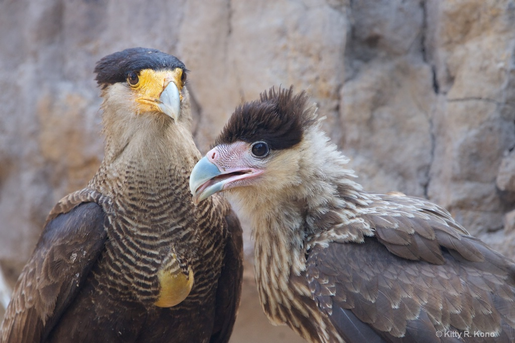 Mom and Baby Southern Crested Caracaras