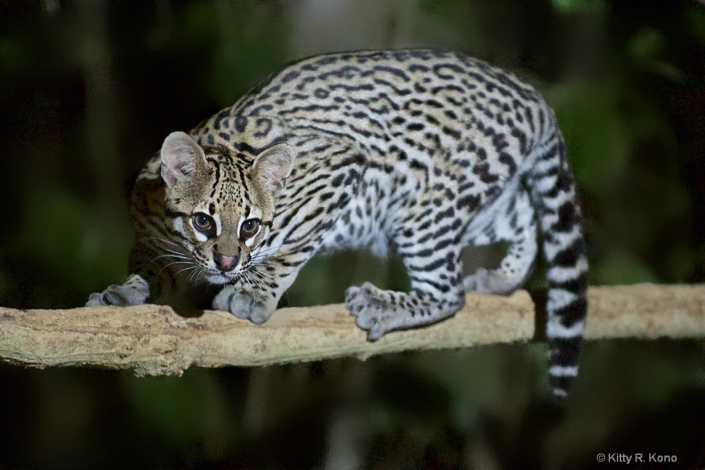 The Ocelot in the Northern Pantanal