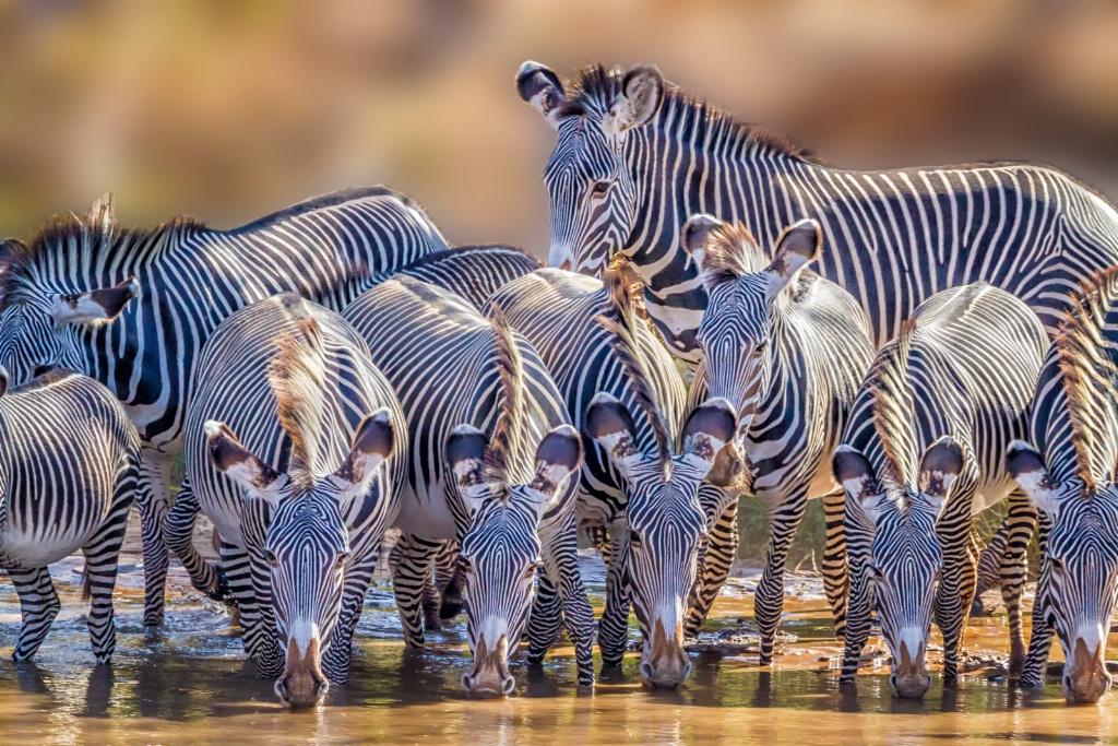 Grevy Zebra Party  7528