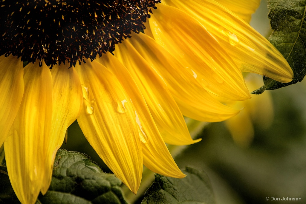 Water Drops on Sunflower 8-26-17 064