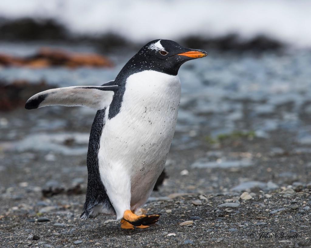 Gentoo Penguin - Feb 15th, 2017