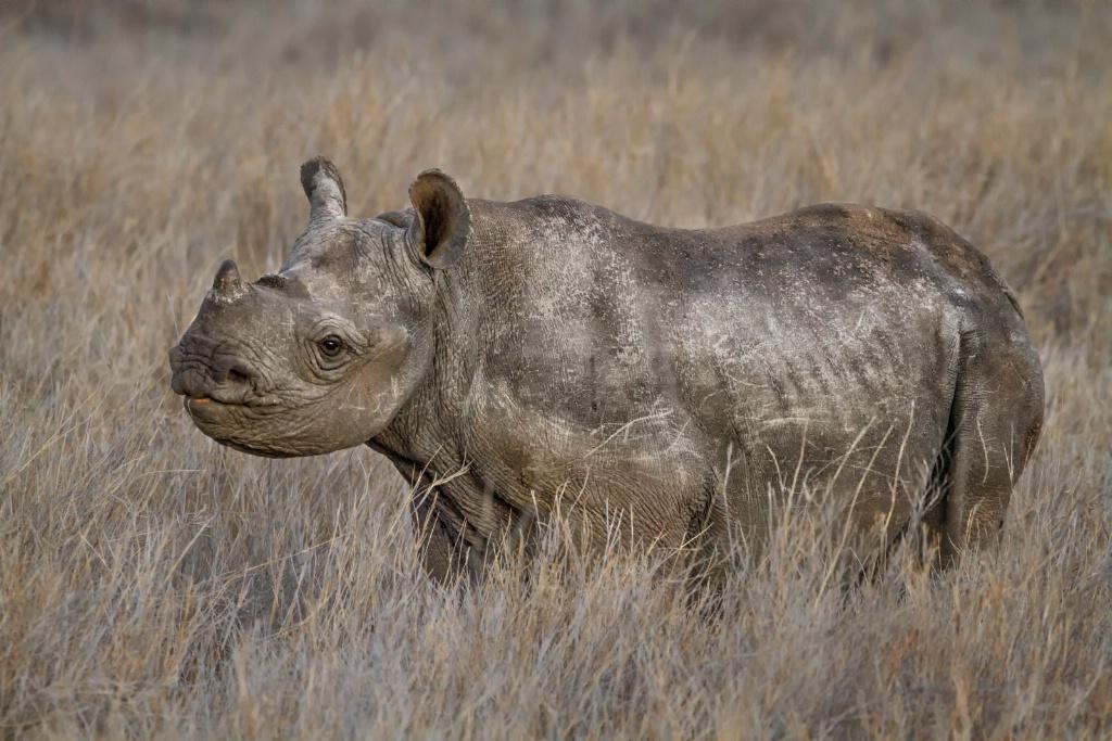 Rough Baby Rhino  5642