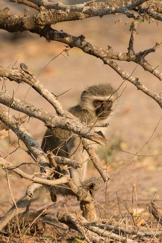 Mala Mala - Vervet Monkey