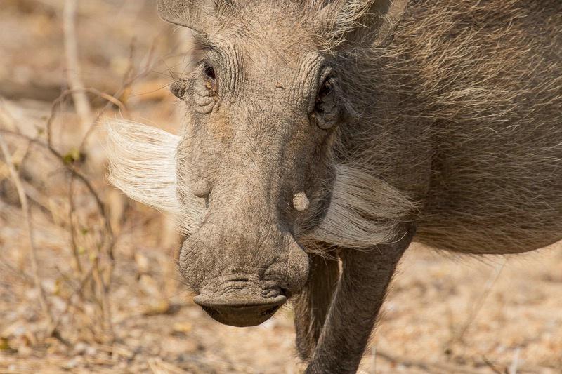 Mala Mala - Warthog