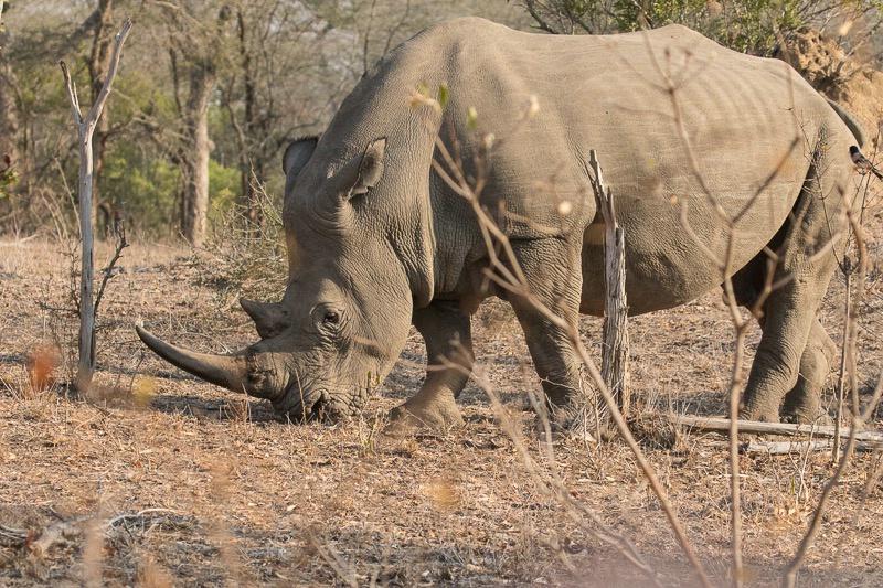 Mala Mala - White Rhino