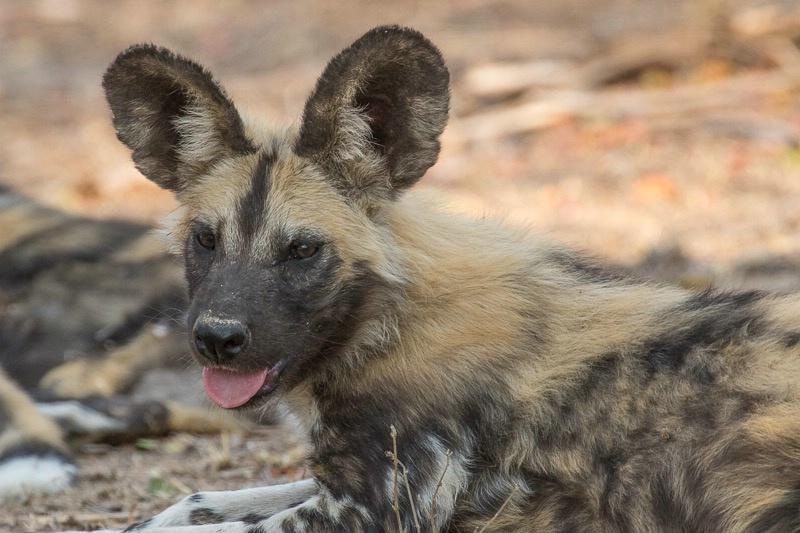 Mala Mala - African Wild Dog