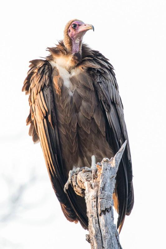 Mala Mala - Hooded Vulture