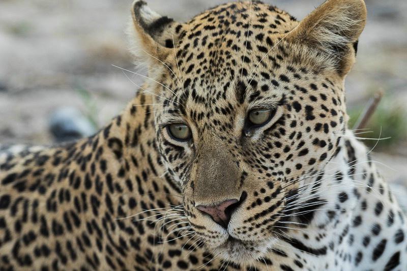Mala Mala - Leopard