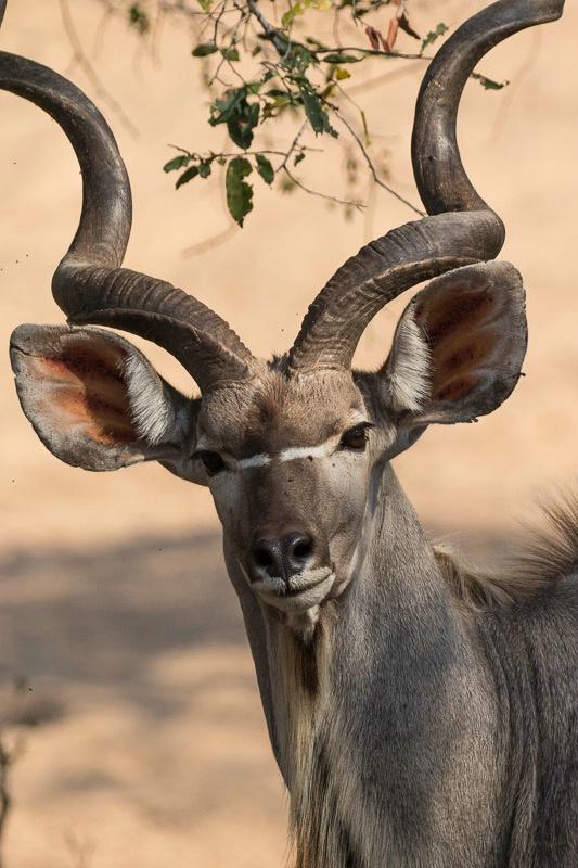 Hamilton's Camp Greater Kudu
