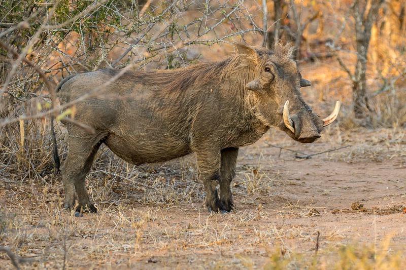 Tanda Tula Camp - Warthog