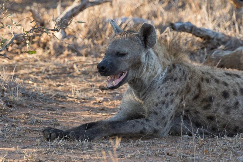 Tanda Tula Camp - Spotted Hyaena