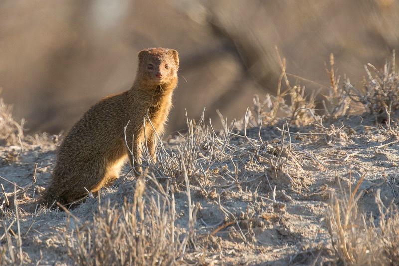 Tanda Tula Camp - Mongoose
