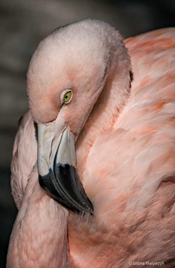 Chilean Flamingo - Sunken Gardens,St Petersburg,
