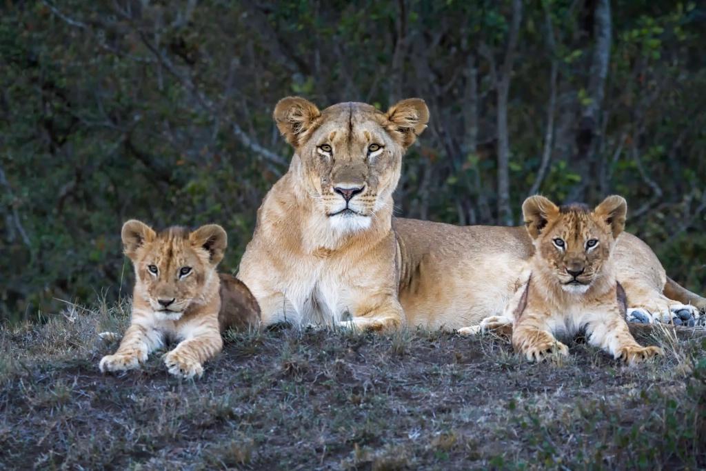 Kenya Lion Family 0163
