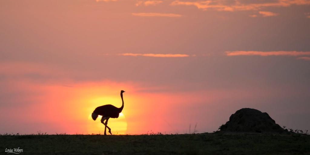 Ostrich Mara Sunset