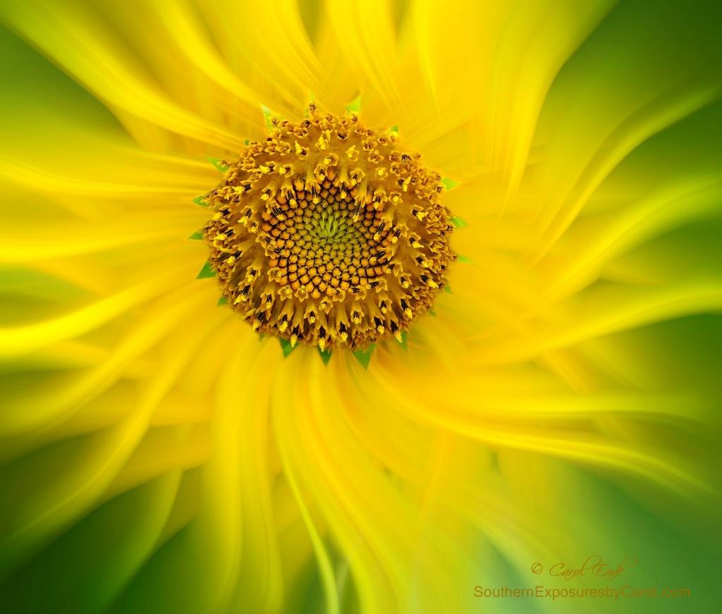 Sunflower Twirl
