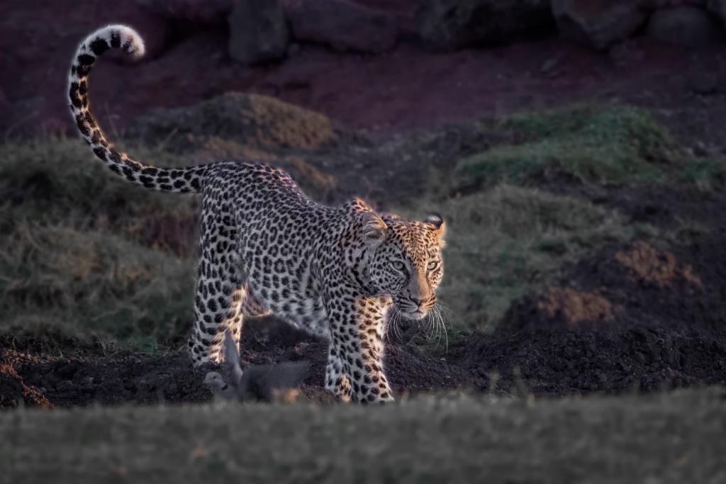 Leopard Approaching 6292