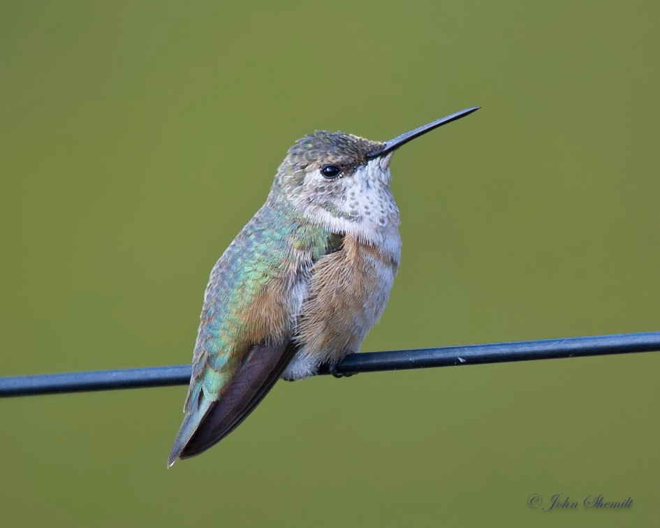 Rufous Hummingbird - Nov 11th, 2011