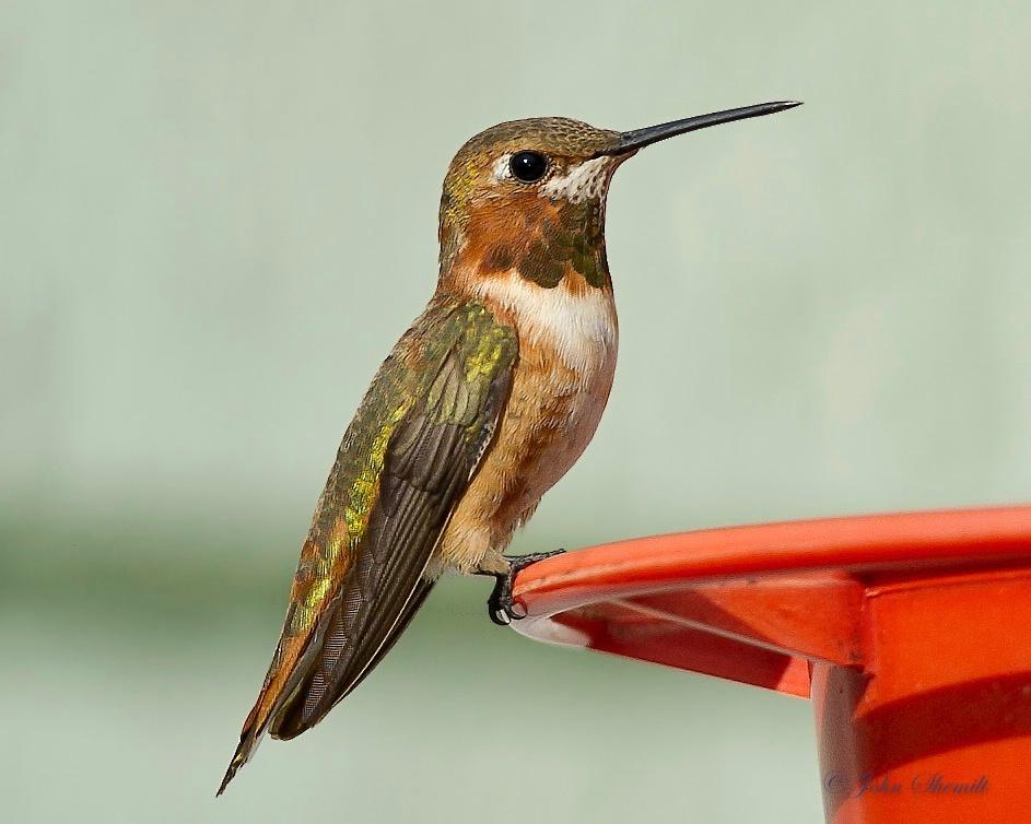 Rufous Hummingbird - Nov 27th, 2011
