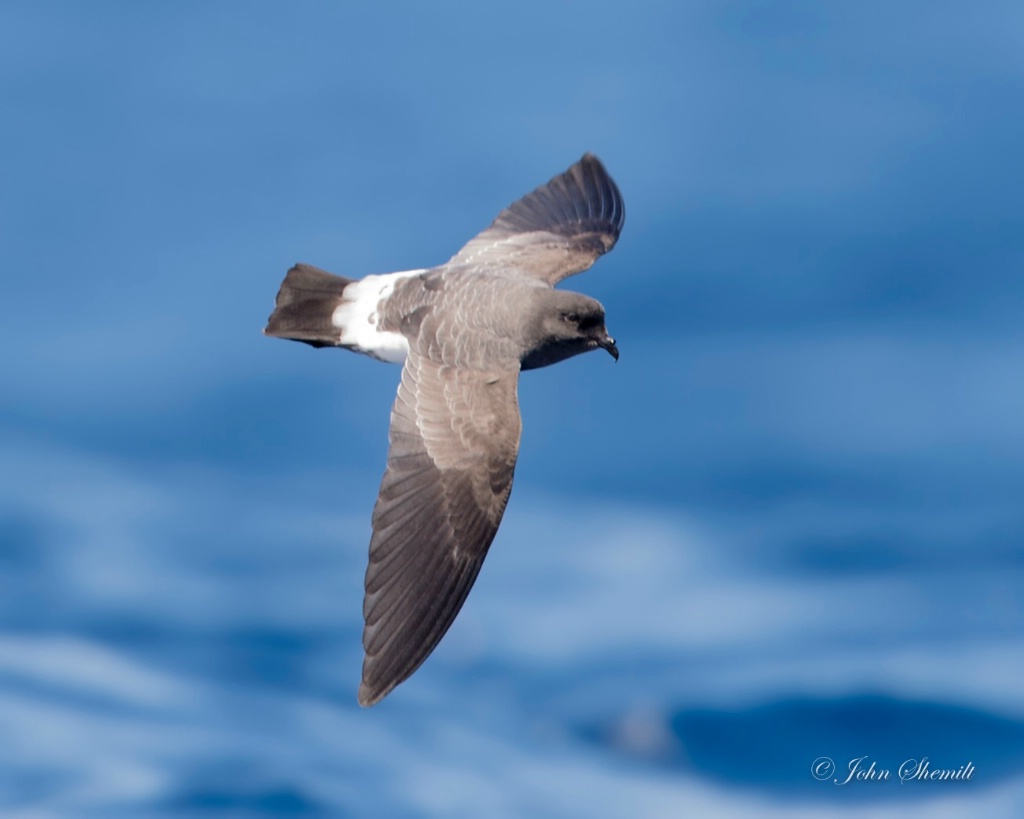 White-bellied Storm-petrel - Nov 7th, 2014