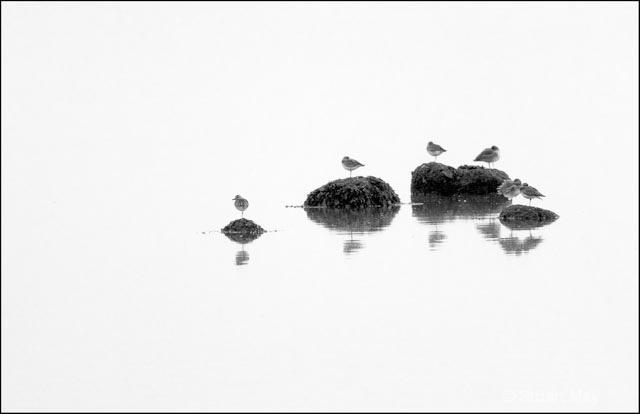 shorebirds on rocks