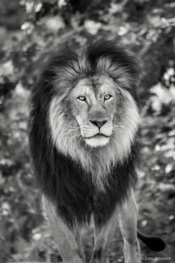 B&W Lion Look 8-26-17 185