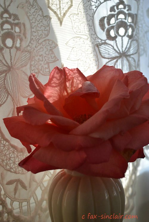 December Rose with Lace